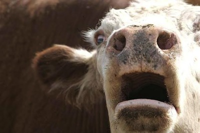 Veganer.nu-Mælk-ost-smør-kalven-fjernes-fra-sin-mor
