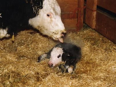 Veganer.nu-Mælk-ost-smør-En-kalv-bliver-født
