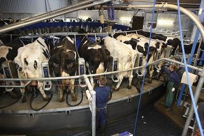 Veganer.nu-Mælk-ost-smør-Køerne-udnyttes-til-de-kollapser-eller-producere-for-lidt-modermælk