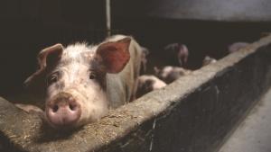 Veganer.nu-Lækon-Læcon-Vegansk-Bacon-Rispapirsbacon-rice-paper-bacon-vi-bør-ikke-behandle-grise-og-andre-dyr-som-var-de-blot-resurser