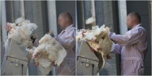 Høns dræbes i en pulp-maskine