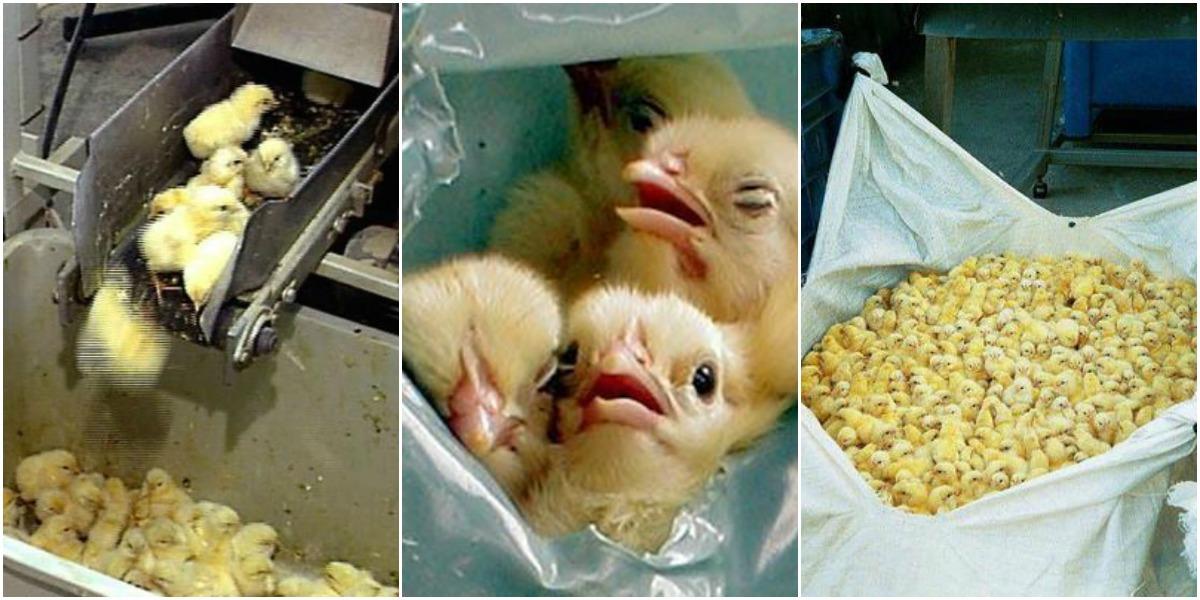 kønssortering af kyllinger