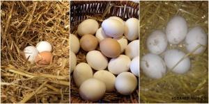 Kan veganere holde høns i haven og er æggene veganske